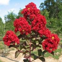 Piros virágú selyemmirtusz