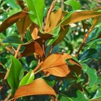 Örökzöld magnolia