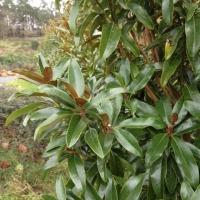 Oszlopos örökzöld magnolia, liliomfa
