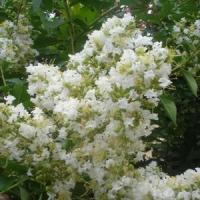 Fehér virágú selyemmirtusz
