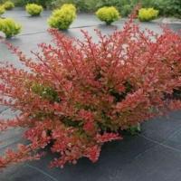 Narancs-vörös levelű borbolya