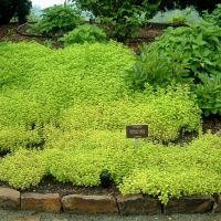 Sárga levelű Oregánó, vadmajoránna