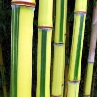 Zöld-sárga csíkos bambusz
