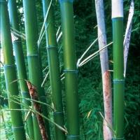 Zöldszárú óriásbambusz