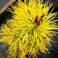 Pinus contorta Chief Josefh