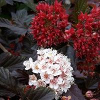 Bordó levelű hólyagvessző