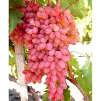 Rizomat csemegeszőlő