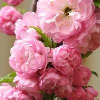 Telt virágú babarózsa