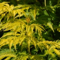 Sárga levelű díszbodza