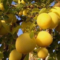 Pappagone sárga szilva