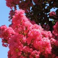 Sötétrózsaszín virágú selyemmirtusz