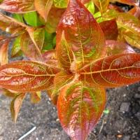 Narancsszínű lombú rózsalonc