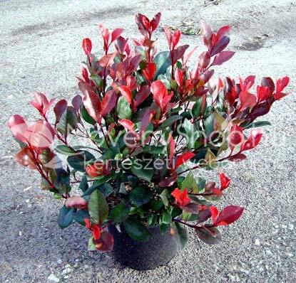 Little Red Robin Gr Jpg Photinia Fraseri 138648